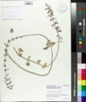 Image of Plectranthus argentatus