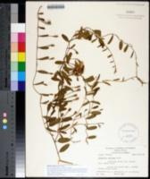 Image of Stylisma villosa