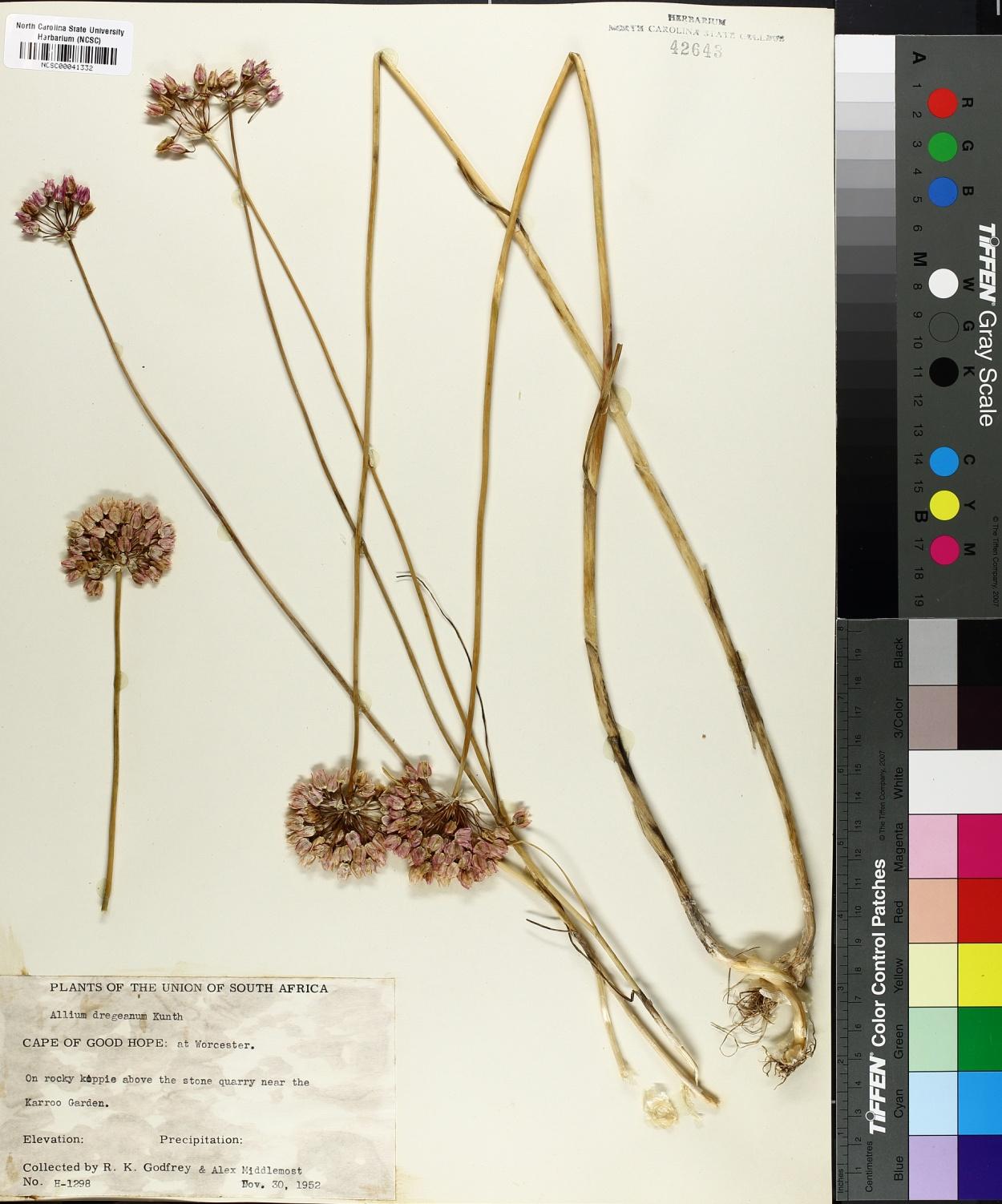 Allium synnotii image