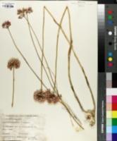 Image of Allium synnotii
