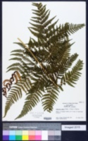 Ctenitis ampla image