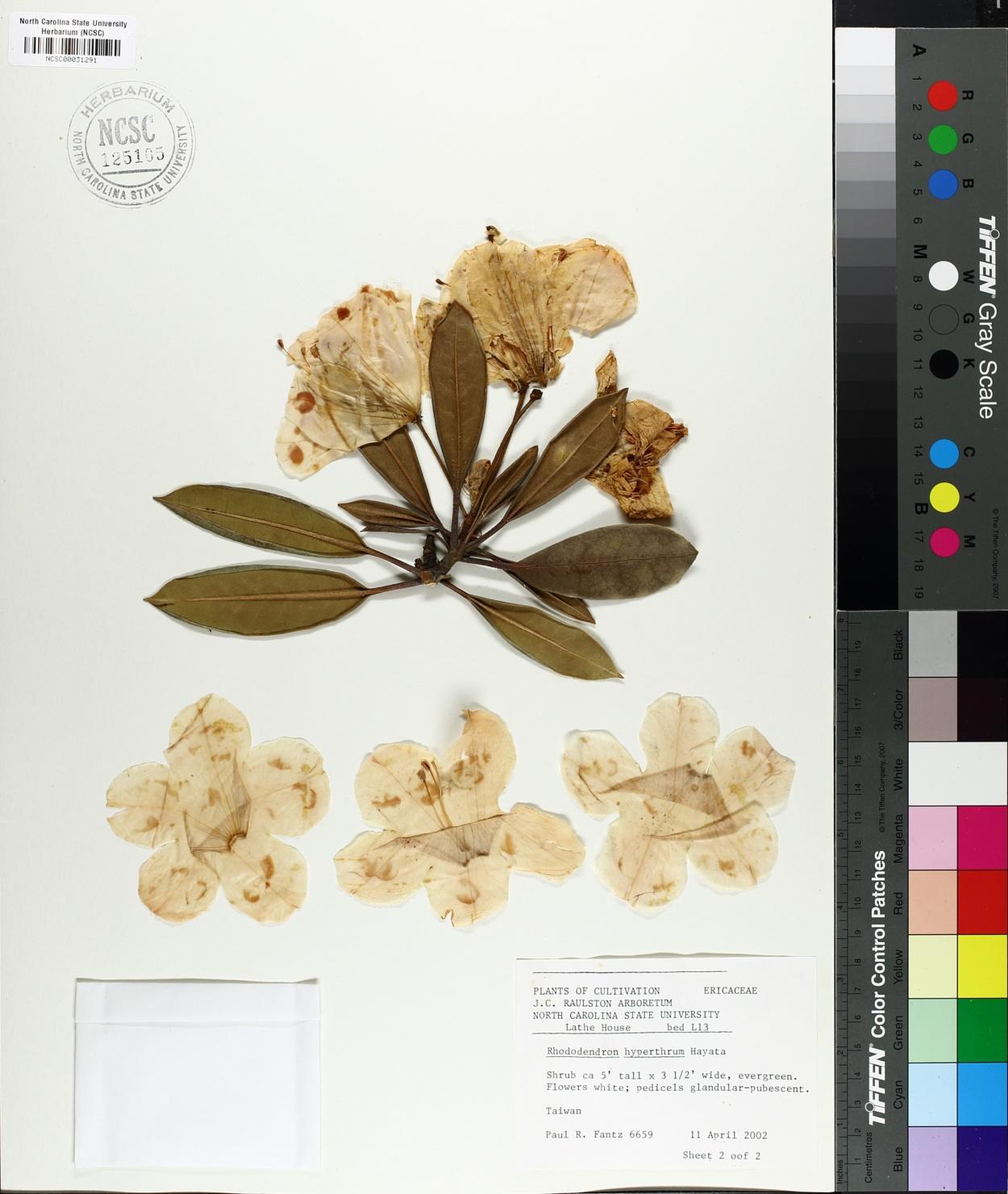 Rhododendron hyperythrum image