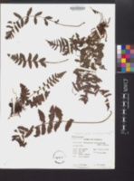 Thelypteris pellita image