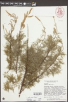 Tamarix africana image