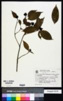 Image of Psychotria brachypoda