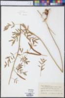 Mimosa rupertiana image