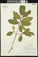 Frangula caroliniana image