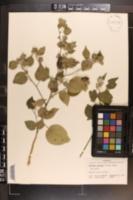 Abutilon permolle image