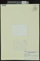 Lemna aequinoctialis image
