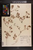 Euphorbia bombensis image