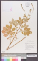 Image of Agrimonia pilosa