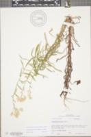 Image of Pseudognaphalium helleri