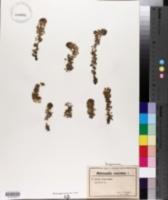 Image of Aldrovanda vesiculosa