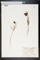 Image of Fritillaria orientalis