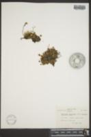 Diapensia lapponica subsp. obovata image