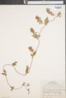 Image of Polygonum cristatum