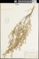 Helianthemum glomeratum image