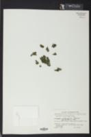 Crepidomanes intricatum image