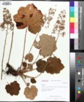 Image of Heuchera macrorhiza