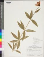 Image of Lilium grayi