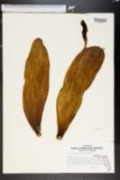 Image of Nopalea cochenillifera