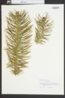 Cunninghamia konishii image