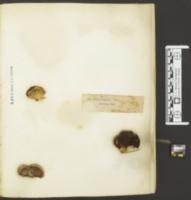 Panus dorsalis image