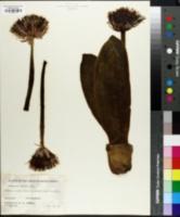 Image of Haemanthus hirsutus