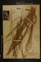 Triodia flava image