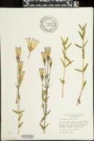 Image of Gentiana procera