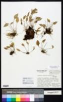 Image of Lepanthes veleziana