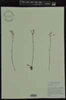 Image of Micranthes palmeri
