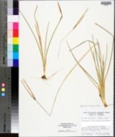 Eustachys floridana image