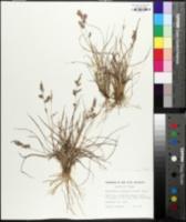 Eragrostis secundiflora subsp. oxylepis image