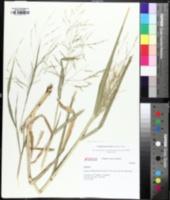 Image of Coleataenia anceps