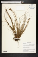 Tillandsia setacea image