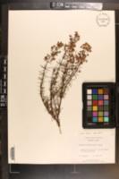Hypericum lloydii image