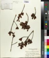Myrsine sandwicensis image