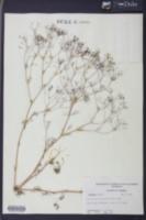 Spermolepis divaricata image