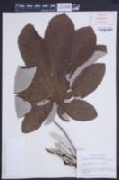 Cecropia pachystachya image