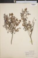 Image of Vaccinium candicans