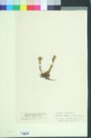 Image of Silene suecica