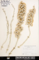 Tetradymia tetrameres image