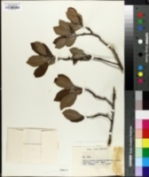 Image of Hesperomeles escalloniifolia