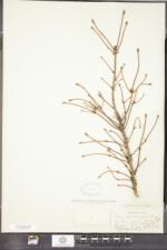 Arceuthobium pusillum image