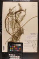 Amsonia ciliata image