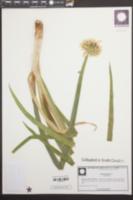 Allium fistulosum image