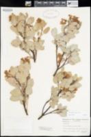 Arctostaphylos glauca image