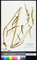 Echinochloa stagnina image