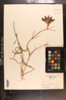 Gentiana autumnalis image